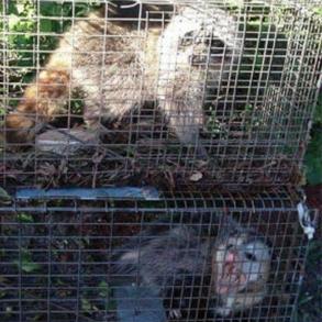 Palm Beach Possum Removal