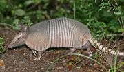 Palm Beach and Jupiter County Armadillo Removal