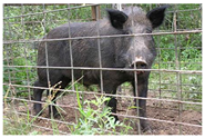 Florida Wild Hog Removal