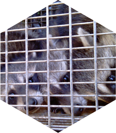 raccoon removal west palm beach